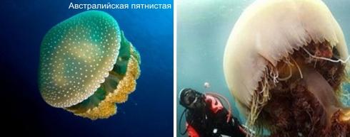 Какого цвета медузы бывают